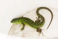 Зеленые viridis ящерицы, agilis ящерицы виды ящерицы рода зеленых ящериц Стоковое Изображение RF