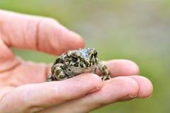 Зеленые viridis Bufo жабы на руке мальчика Стоковые Изображения
