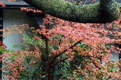 Зеленый апельсин и красный японский кленовый лист на дереве после дождя и ствола дерева с мхом лишайника Стоковые Фото