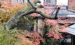 Зеленый апельсин и красный японский кленовый лист на дереве после дождя и ствола дерева с мхом лишайника Стоковая Фотография RF