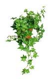 зеленый бак плюща Стоковая Фотография RF