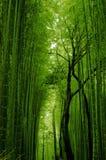 Зеленый бамбуковый путь стоковые фотографии rf