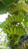 зеленый банан в брюках сада Стоковое Изображение RF