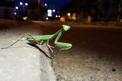 Зеленый большой mantis на улице ночи городка Стоковое Изображение RF
