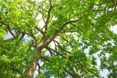 Зеленый вал дуба в утре Стоковые Изображения RF
