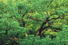 зеленый вал дуба Стоковая Фотография
