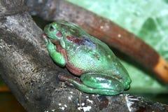 зеленый вал жабы стоковое фото rf