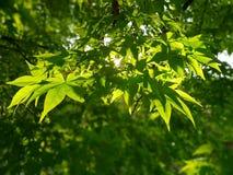 зеленый вал клена стоковое изображение rf
