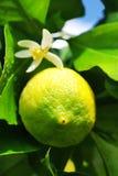 зеленый вал лимона Стоковое Изображение RF