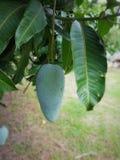 зеленый вал мангоа Стоковое Изображение