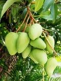 зеленый вал мангоа Стоковые Изображения RF