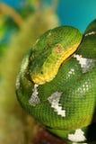 зеленый вал питона Стоковая Фотография