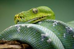 зеленый вал питона Стоковые Фотографии RF