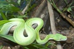 зеленый вал питона Стоковая Фотография RF