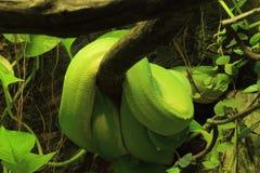 зеленый вал питона Стоковое Изображение RF