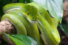зеленый вал питона Стоковые Фото