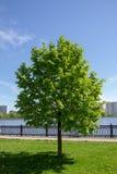 зеленый вал Разделенное молодое дерево Стоковое Изображение RF