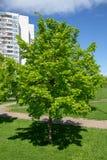 зеленый вал Разделенное молодое дерево Стоковые Изображения RF