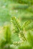 зеленый вал сосенки Стоковое Изображение RF