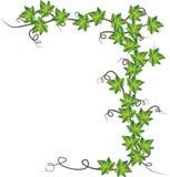 зеленый вектор плюща иллюстрации Стоковая Фотография RF