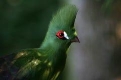 зеленый вид сбокуый turaco Стоковая Фотография RF