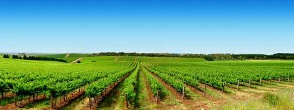 зеленый виноградник ландшафта Стоковая Фотография