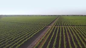 Зеленый виноградник на солнечный день r сток-видео