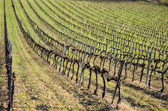 зеленый виноградник стоковое фото