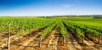 зеленый виноградник Стоковые Изображения
