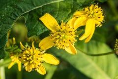 Зеленый возглавленный Конус-цветок в солнечном луге стоковые фото
