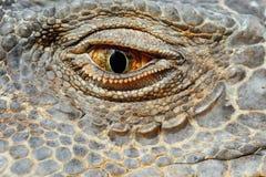 Зеленый глаз игуаны Стоковое Фото