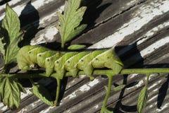 зеленый глист табака sexta manduca Стоковые Изображения RF