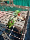 Зеленый говоря попугай Стоковое Изображение