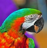 зеленый головной macaw довольно стоковые изображения