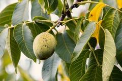 Зеленый грецкий орех растя на дереве Стоковое Фото