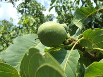 зеленый грецкий орех Стоковые Фотографии RF
