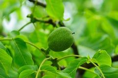 зеленый грецкий орех Стоковые Изображения RF
