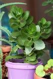зеленый густолиственный завод potted Стоковое Изображение RF