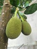 Зеленый джекфрут, мягкий джекфрут, популярно использован для варить стоковое изображение