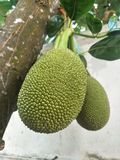 Зеленый джекфрут, мягкий джекфрут, популярно использован для варить стоковое фото