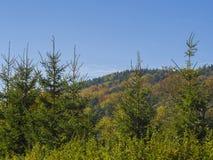 Зеленый елевый лес и осень дерева покрасили лес на холме w Стоковая Фотография RF