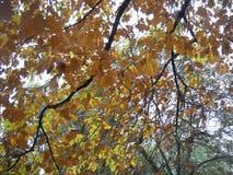 Зеленый желтый апельсин в осени Стоковые Изображения RF