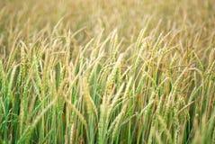 зеленый желтый цвет пшеницы Стоковые Изображения