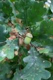 Зеленый жолудь растет на ветви дуба Стоковые Фотографии RF