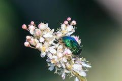 Зеленый жук розового жук-чефера на запачканном dropwort папоротник-лист цветет Filipendula vulgaris с темное ым-зелен стоковые фотографии rf