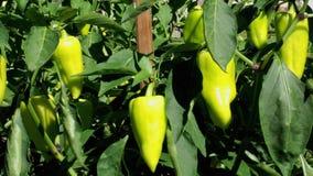 Зеленый завод болгарского перца в огороде акции видеоматериалы