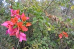 Зеленый завод бугинвилии с цветками стоковая фотография rf