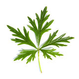 зеленый завод листьев Стоковые Изображения