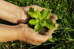 зеленый завод руки Стоковое фото RF