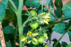 Зеленый завод томатов с цветениями Здоровый и свежий овощ растет в парнике стоковая фотография